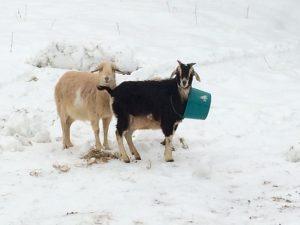 Frank the goat
