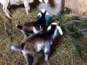 twin kid goats