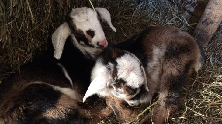 twin kid goats